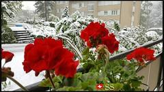 Mannedorf, Switzerland....🇨🇭 (Shobana Shanthakumar) Tags: männedorf männedorfgemeinde zurichlake zurichsee zurich zurichcity zurichsea schweiz suisse swiss switzerland zürich zürichsee zürichfest swissnature nature swisswhether whether google youtube flowergardenbloomingflowers flower flowergardens lovelyflowers flowers amazingflowers seasonflowers swissflowers summerflowers winter snow snowfall