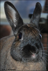 """Just a lil Squirt "" (John Neziol) Tags: kjphotography nikon nikoncamera nikondslr netherlanddwarfrabbit rabbit bunny pet animal brantford dwarfrabbit brownrabbit brownbunny"
