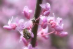 FOCUSED On His Work (Vidterry) Tags: bee honeybee redbudtree softness