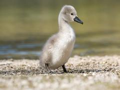 P5060214 (turbok) Tags: almsee bergsee höckerschwan landschaft schwäne tiere vögel wasser wildtiere c kurt krimberger