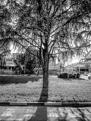 The sun behind a tree (alberto martucci) Tags: digilix2 digilux leica oldcameras milan italy sunshine shadows street love photograph bianconero bw