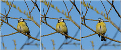 Blåmeis / Blue Tit (Sigurd R) Tags: cyanistescaeruleus bird bluetit blåmeis filmstrip norge norway