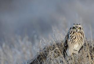 Short-eared Owl - 3677b+