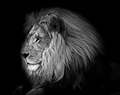 90246936977-88-The Mighty Lion-5-Black and White (Jim There's things half in shadow and in light) Tags: 2017 canon5dmarkiv canon70200lens henderson lionhabitatranch may nevada thingstodoinlasvegas animal bigcat lion blackandwhite