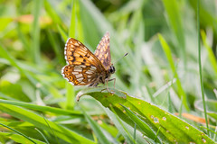 The Duke of Burgundy (explored) (Anne Richardson) Tags: nature macro wildlife noarhill butterfly insect dukeofburgundy explored photography sigma canon 7dmkii