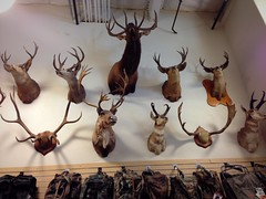 Stop at the #baitshop (Σταύρος) Tags: baitshop deer elk hanging trophies animals wallmount animalhead stuffedanimalheadsonwall stuffedanimalheads onthewall stuffedanimal vacaville iphone iphone5 takenwithaniphone telephone cellphone cell phone gps iphone5capture iphonecapture backcamera mobilephone appleiphone apple