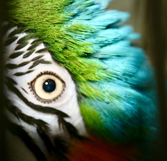Macro Monday Eye (parrotlady66..) Tags: macromonday eye parrot parrotfeather face familypet blueandgold blueandgoldmacaw bird pet