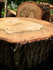 Wood exposed:  Total 21,091,600 views (LarryJay99 ) Tags: flickr oaktree woodgrain tree pictures photostream bark crosssection crosscut iphone7plusbackdualcamera399mmf18