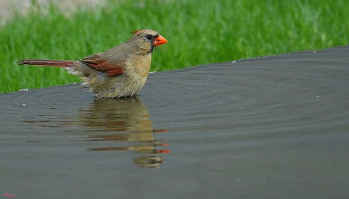 """Female Cardinal • <a style=""""font-size:0.8em;"""" href=""""http://www.flickr.com/photos/52364684@N03/33758509533/"""" target=""""_blank"""">View on Flickr</a>"""