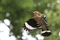 Hoopoe (Johnnie Shene Photography(Thanks, 2Million+ Views)) Tags: upupaepops hoopoe eurasianhoopoe bird birding animal nature natural wild wildlife fly flying flight midair sideview lowangle stationary still takeoff photography horizontal outdoor colourimage fragility freshness nopeople foregroundfocus adjustment fulllength depthoffield bokeh flapping wings limbs spreadwings korea spring day eating food feeding tranquility behaviour interesting awe wonder shadow canon eos600d rebelt3i kissx5 sigma apo 70300mm f456 dg macro zoom lens 후투티 새 조류 비행 날개짓 먹이