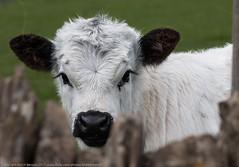 Calf (kimbenson45) Tags: cotswoldfarmpark animal black calf closeup differentialfocus eyes farm green head nature nose outdoors shallowdepthoffield spring springtime white young