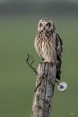 _LAR1095-2 (Larissa Rand) Tags: 2017 lithoijen natuur nikon500mmf4efledvr nikond750 polder velduil birds natuurfotografie owls uilen wildlife
