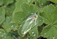 Raindrops on Lady's mantle (Alchemilla) (christina.marsh25) Tags: alchemilla ladysmantle raindrops