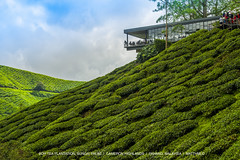 BOH Tea Plantation (matthmlo) Tags: landscape cameron highlands mountains tea plantation nikon d700 nikkor 24120 f4 sungai palas