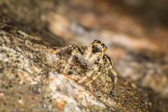 IMG_7483-1 (Pascal Guay) Tags: salticidae jumping spider macro supermacro macrophotography bugs magnification arachnid rock outside nature cute legs hairy furry eyes ocelli
