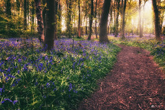 If you go down to the woods today... (Kerriemeister) Tags: bluebells bluebell wood flowers carpet path trees magical hagg dunnington york