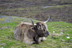 KYLOE, ISLE OF SKYE  -  (Selected by GETTY IMAGES) (DESPITE STRAIGHT LINES) Tags: heilancoo highlandcow highlandcows kyloe cow cattle heilancoosinscotland highlandcattleinscotland horns day cloud landscape nikon d800 nikond800 nikon2470mm nikkor2470mm paulwilliams despitestraightlines flickr getty gettyimages highlands scottishhighlands boghaidhealach brindled fur grass field pasture farm farming hoof hooves dof photo photography frame raw image animal sconser luib lochainort isleofskye lochsligachan lochcairidh gettyimagesesp despitestraightlinesatgettyimages paulwilliamsatgettyimages