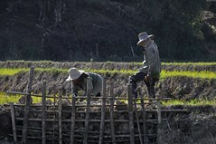 La récolte du riz - The harvest of rice (Olivier Simard Photographie) Tags: thailand thaïlande thaton changrai doimaesalong triangledor goldentriangle rizières santikhiri ดอยแม่สลอง chiangraiprovince paddy field rice farmer countryside woman farming mountain tribe burma rizière riz paysan campagne femme agriculture montagne tribu birmanie asie asia riziculture ricefarming uplandrice paddyfield travaildeschamps récolte peasant wife fieldwork harvest