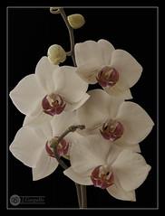 Cinco Flores (J.Gargallo) Tags: orquidea orquideas flor flores flower flowers planta plantas indoor interior framed marco castellón castellóndelaplana comunidadvalenciana españa eos eos450d 450d canon canon450d tokina tokina100mmf28atxprod