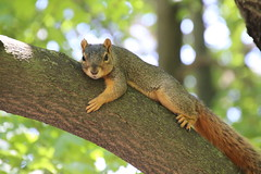339/365/3261 (May 16, 2017) - Squirrels in Ann Arbor at the University of Michigan (May 16th, 2017)