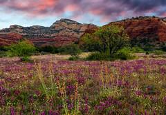 Springtime In Sedona (Guy Schmickle) Tags: arizona bearmountain coconinonationalforest sedona globemallow owlclover sunriseorsunset wildflowers