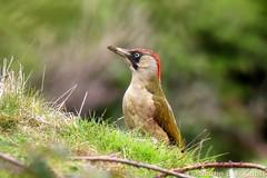 Green Woodpecker 6442(550D) (wildlifetog) Tags: green wild wildlifeeurope wildlife woodpecker blackmore britishisles britain bird birds british brading mbiow martin marsh isleofwight uk canon england european eos550d nature