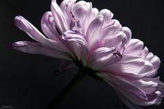 Flower (aniribe) Tags: flower nikon color light shadow closeup nature naturephotos spring