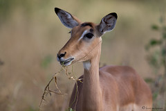 Pretty lady (leendert3) Tags: impalaf leonmolenaar southafrica krugernationalpark mammal antelope nature wildlife ngc sunrays5