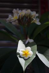 nEO_IMG_DSC03326 (Bryan Shan@) Tags: sony a55 sonya55 tamron tamronsp2448mmf3538 sp 2448mm f3538 model13a flower 花 plant 植物