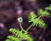 Fern Fronds (Jonathan Goddard1) Tags: fern frond twisting leaves nature creatures spring