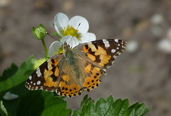 Painted lady - Distelvlinder (joeke pieters) Tags: 1340374 panasonicdmcfz150 distelvlinder vanessacardui paintedlady vlinder butterfly schmetterling papillon platinumheartaward ngc npc