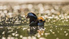 Mandarin Duck sunset (mond.raymond1904) Tags: dublin dodder mandarin duck river