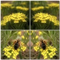 (Tölgyesi Kata) Tags: withcanonpowershota620 botanikuskert vácrátótibotanikuskert vácrátót növényrendszertanigyűjtemény systematicalcollection phylogeneticplantcollection yellowflower spring tavasz alyssumborzaeanum mozaik mosaic ternye bee insect méh rovar