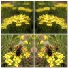 (Tölgyesi Kata) Tags: withcanonpowershota620 botanikuskert vácrátótibotanikuskert vácrátót növényrendszertanigyűjtemény systematicalcollection phylogeneticplantcollection yellowflower spring tavasz alyssumborzaeanum mozaik mosaic ternye bee insect méh rovar collage
