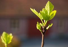 Feigenblatt (petragruhn) Tags: natur feigenbaum feigenblatt blatt sonne frühling knospen balkon outdoor licht lichtstimmung lichtreflexe