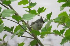 Wet Titmouse (loraweber) Tags: tuftedtitmouse titmouse bird songbird graybird rain spring foragingbird cannon cannonpowershot