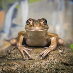 It's the Eyes (mdalmuld) Tags: frog eyes animal zoo symbio olympus omd em10 43