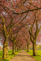 Cherry blossom in the Meadows!!! (Renji's SnapShots) Tags: cherryblossom blossom spring meadows park edinburgh scotland visitscotland uk walkway travel photography photograph outdoor nature landscape trees serene