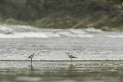 Pilgrimage to Tofino (Chantal Jacques Photography) Tags: whimbrel godwitt pilgrimagetotofino wildandfree birdscape bokeh depthoffield