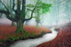 Hayedo de Otzarreta (Mimadeo) Tags: river stream forest vivid trees beech fog foggy mist misty magic tree landscape nature colorful leaf bright roots vibrant season leaves red color fantasy dreamy gorbea basquecountry otzarreta