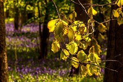 Beech and bluebell (odell_rd) Tags: bluebell beech odellgreatwood coth5