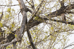 Juvenile Cooper's Hawk hassles a Great Horned Owl