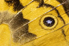 Macro Monday (Male Common Brown) 2017-05-06 (5D_32A8513) (ajhaysom) Tags: macro macromonday macromondays canon100mmlmacro canoneos5dmkiii butterfly eyes commonbrown
