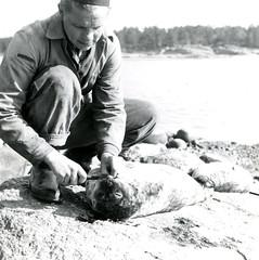 Merivartija nylkemässä hallin poikasta talvella 1965 (The Museum of Finnish Coast Guard) Tags: meri merivartijat merivartija halli nylkeä poikanen 1965 hylje