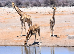 Guard of honour. (pstone646) Tags: giraffe nature animals waterhole reflections wildlife fauna africa namibia mammals drinking etosha trio ngc