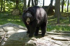 Black bear and exhibit, NC Zoo (ucumari photography) Tags: ucumariphotography animal mammal nc northcarolina zoo may 2017 oso ursusamericanus blackbear dsc3772