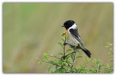 fier comme un bar-tabac (guiguid45) Tags: nature sauvage oiseaux bird passereaux loiret d810 nikon 500mmf4 tarierpâtre stonechat saxicolatorquatus affût