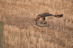 Red-tailed Hawk - Buteo jamaicensis (jessica.rohrbacher) Tags: hawk redtailed accipitridae buteo jamaicensis bird avian alberta canada prairie hunting grass