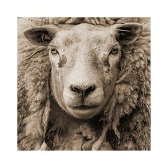 A good hair stylist is a shear delight (Huub SL) Tags: scheep ewe
