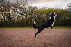 DSCF3878 (donnyhughes) Tags: dog dogs border collie cumbernauld glasgow scotland fuji xt1